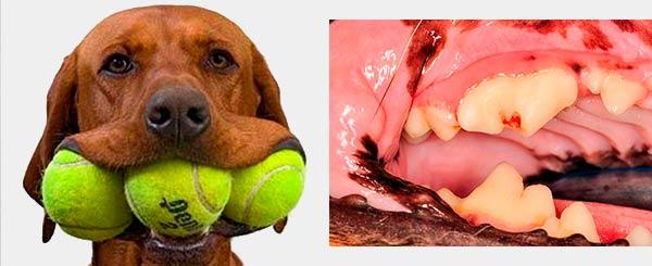 Denti dei cani danneggiati